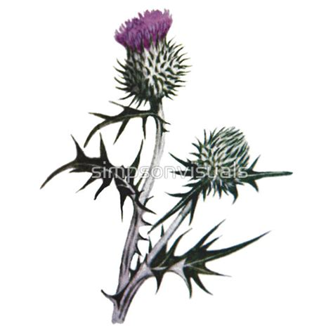 scottish thistle tattoo designs scottish thistle drawing bold beautiful dangerous