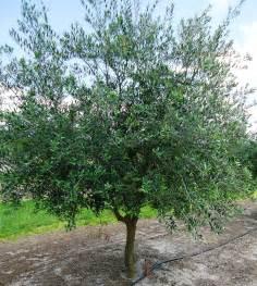 olive tree olive trees allison family farm