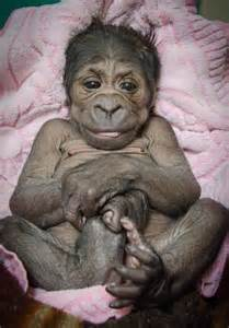 at home okc baby gorilla born at okc zoo gets new home news9