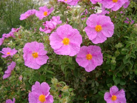 fiori della macchia mediterranea orto botanico cogoleto piante e fiori della macchia