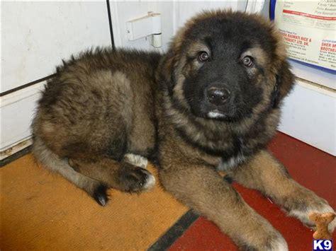 caucasian ovcharka puppies for sale list of breeders in uk breeds picture