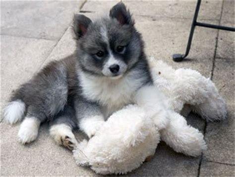 pomeranian husky facts pomsky dogs 101 the adorable pomeranian husky mix pomsky animal facts
