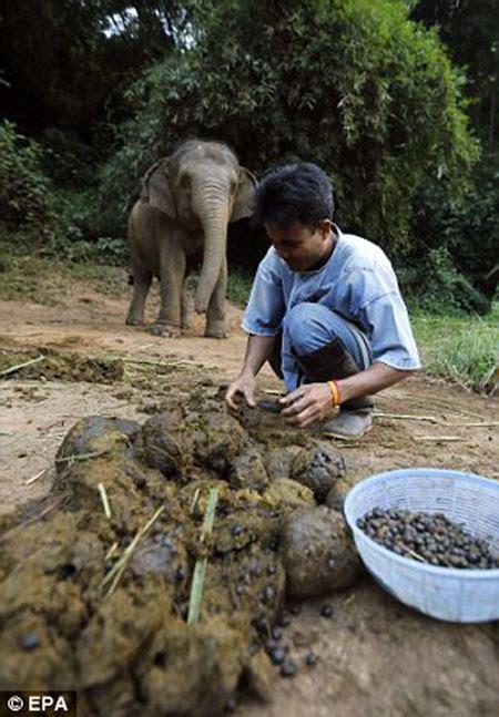Pakan Ikan Lele Dari Kotoran Ayam ternak sapi bandung usaha ternak ikan