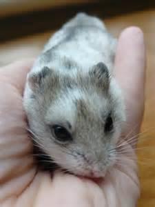 hamster colors dominant spot hamster fur types colors