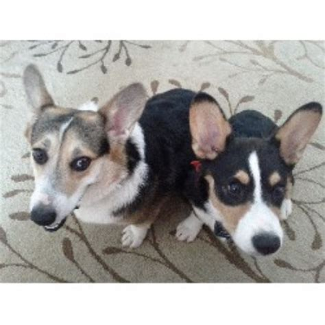 corgi puppies maryland pembroke corgi breeders in maryland freedoglistings breeds picture