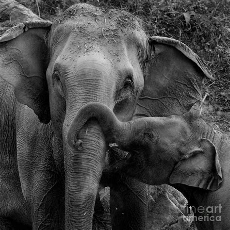 wallpaper elephant black white elephant love black and white wallpapers gallery