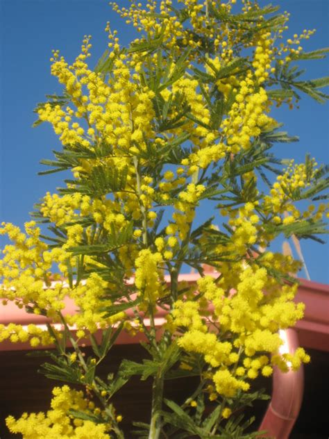 fiori febbraio mimose di febbraio foto immagini piante fiori e funghi