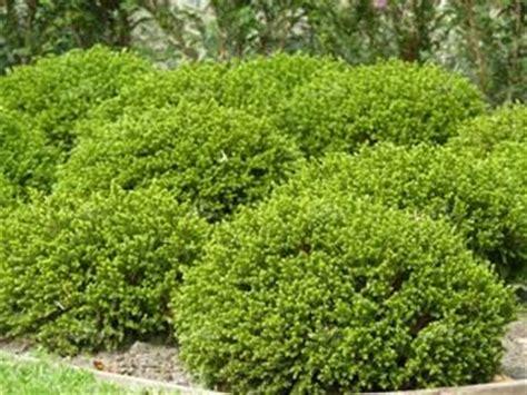 non flowering shrubs hebe emerald green non flowering compact shrub