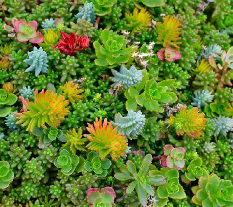 cottage farms rainbow magic carpet sedum m45369 qvc