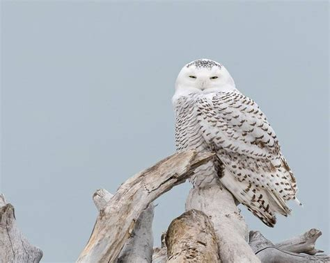 it s a hoot snowy owls flocking to northeast ohio this