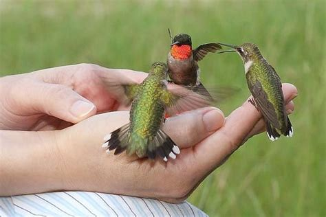 hand feeding hummingbirds