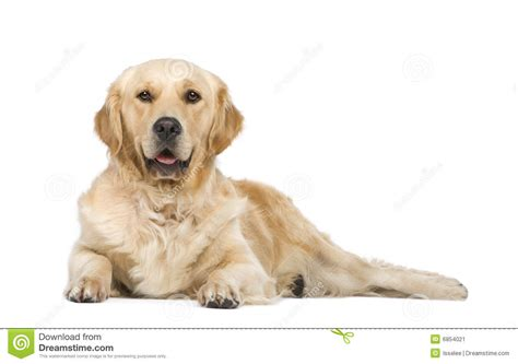 two year golden retriever golden retriever 2 years stock image image 6854021