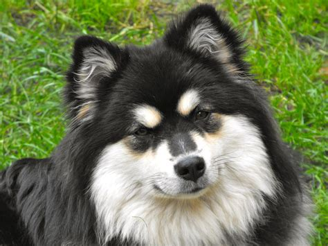 lapphund puppies resting lapphund photo and wallpaper beautiful resting lapphund