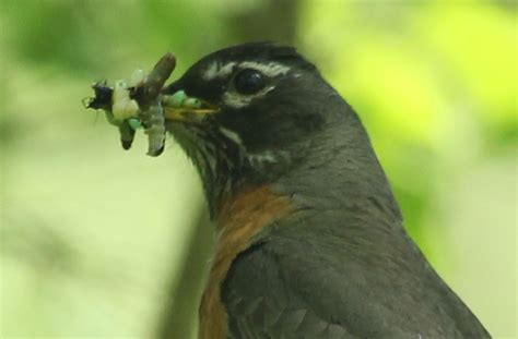 arboretum nesting orioles and fledgling robins 187 skinny