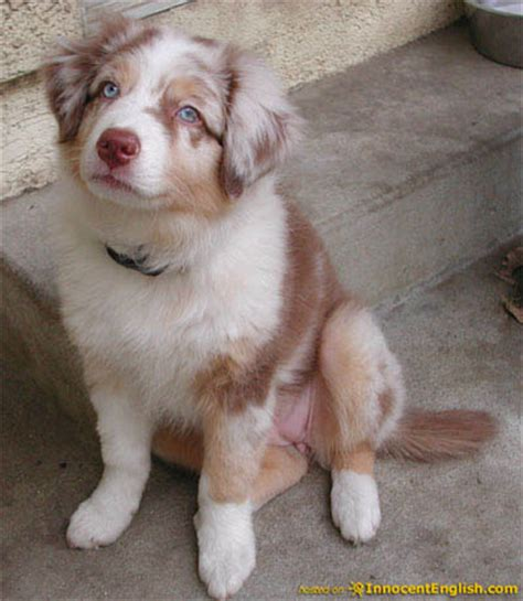 This adorable border collie australian shepherd mix needs a home and