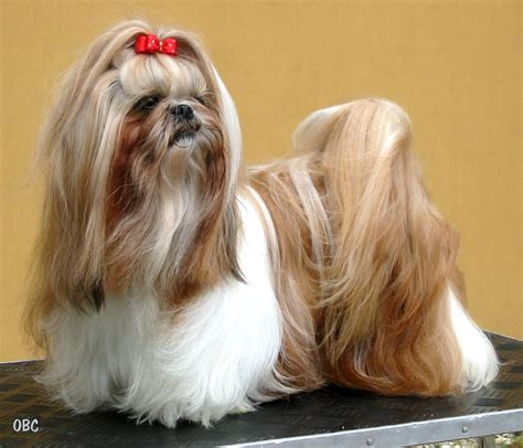 kinds of shih tzu shih tzu view large photo image breeds picture