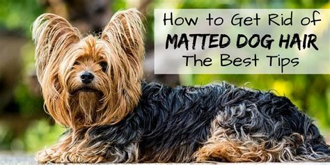 how to get rid of dog hair on couch how to get rid of matted dog hair the best tips