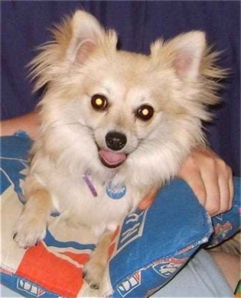 chihuahua vs pomeranian pomchi breed pictures 3