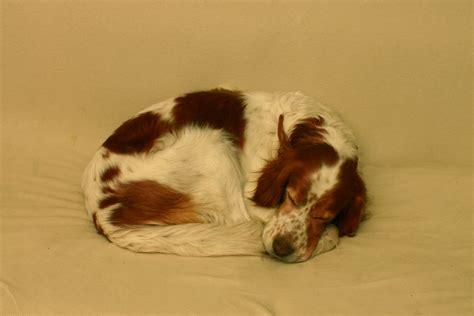 red setter dog wallpaper irish red and white setter dog photo and wallpaper