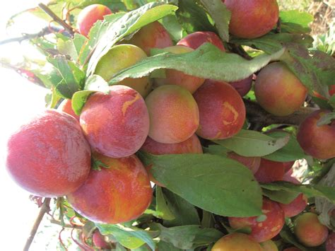 fruit tree supplies plum billington burbank