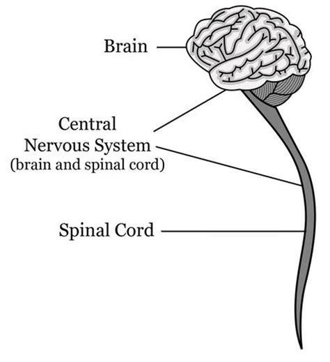 central nervous system diagram 13 18 central nervous system biology libretexts
