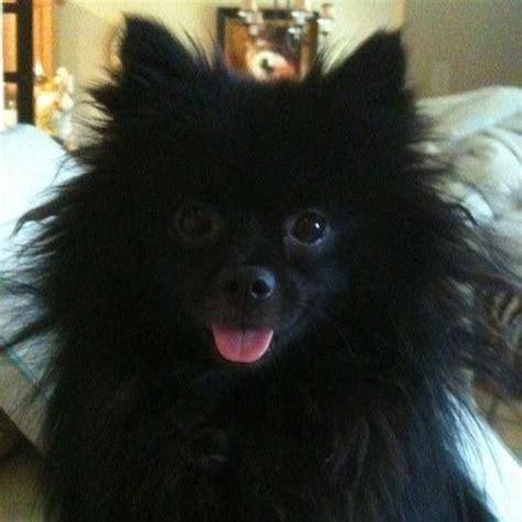 black puppy pomeranian best 25 black pomeranian ideas on black pomeranian puppies pomeranian