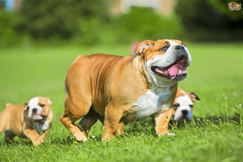 English Bulldog Dog Breed Information, Buying Advice