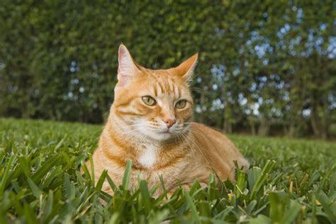 Learn About Red Cats Before Adding One Your Family