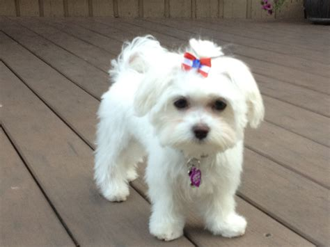 maltese haircut styles pictures maltese by valerie quot bella quot after her first haircut