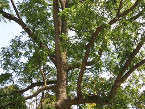 black walnut tree growing guide