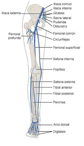 cadenas iliacas comunes anatomia miembros inferiores yahoo image search results