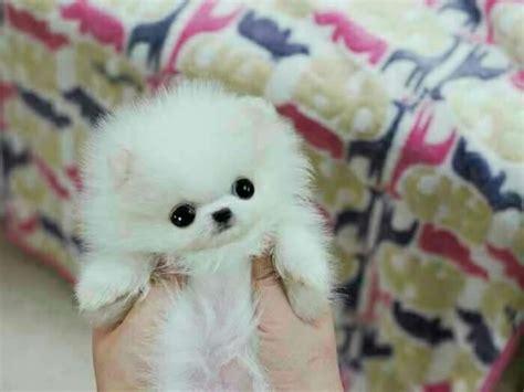 akc teacup pomeranian puppies for sale akc teacup pomeranian puppies available for sale connie