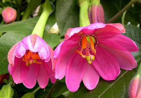 10 Banana Delicious Pink passiflora mollissima banana fruit 10 seeds by