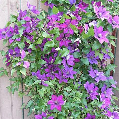climbing plant purple flowers plantfinder sunset clematis hybrids jackmanii superba