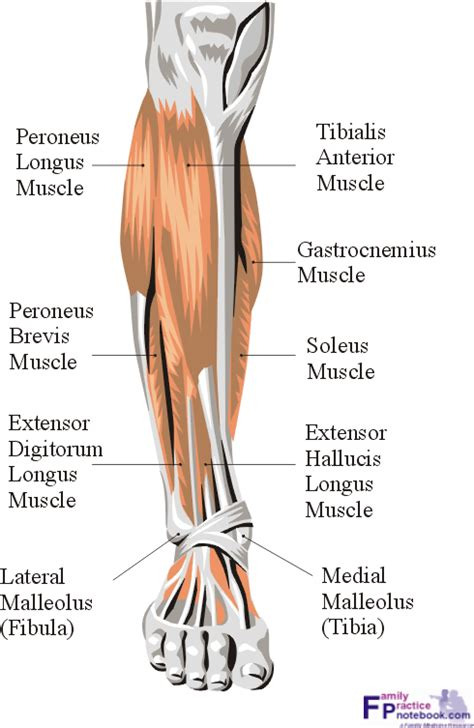 calf diagram human anatomy calf anatomy mri uw ankle anatomy