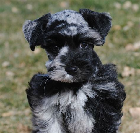17 best images about merle schnauzer on pinterest