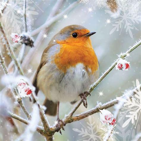 winter robins birds birds birds