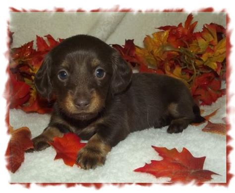 miniature dachshund puppies for sale in alabama mini dachshund puppies for sale in alabama akc smooth coat breeds picture