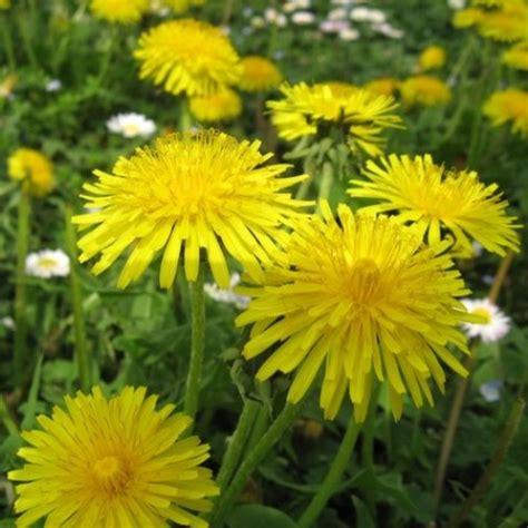 fiori dente di tarassaco dente di o soffione semente vendita