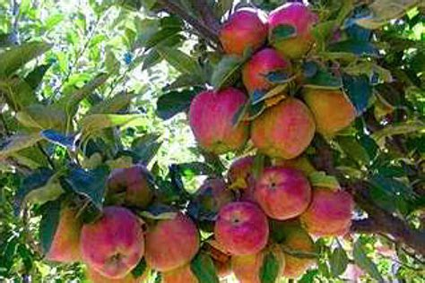 what of fruit grows on trees grow the most amazing fruit by pruning your fruit trees