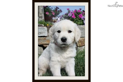 golden retriever puppies for sale montana monty white golden retriever for sale in missoula mt 4347147637 4347147637
