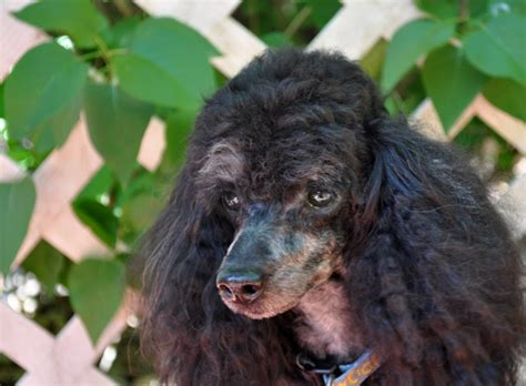 rescue mn standard poodle rescue mn