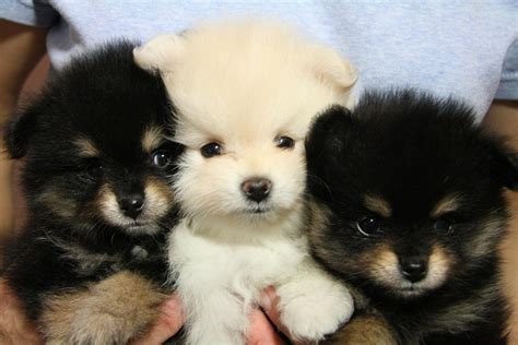 breed that looks like a teddy teddy breed breeds puppies