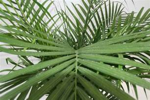 types of indoor plants indoor plants palm 2015 palm plant care
