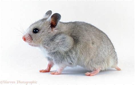 X Bamester Graue Hamster Bilder Graue Hamsterbild Und Foto Tier Bilder