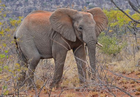 what color are elephants grey is soooo last season elephants change colours by
