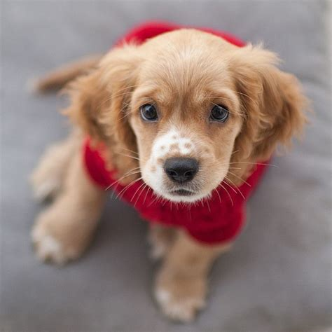 how much are cocker spaniel puppies best 20 cocker spaniel puppies ideas on spaniel puppies cocker breeds