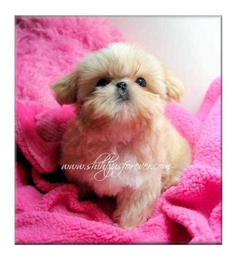 imperial shih tzu puppies for sale in alabama 78 best ideas about shih tzu for sale on shih tzu shih tzu puppy and baby