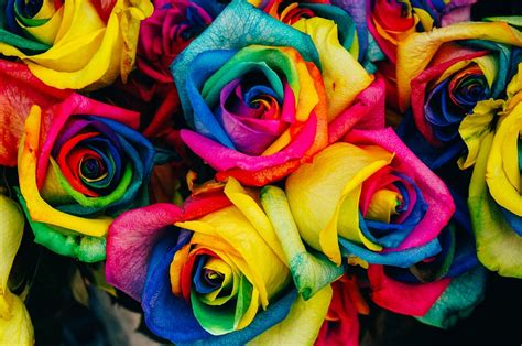 colorful roses roses colored tinted 183 free photo on pixabay