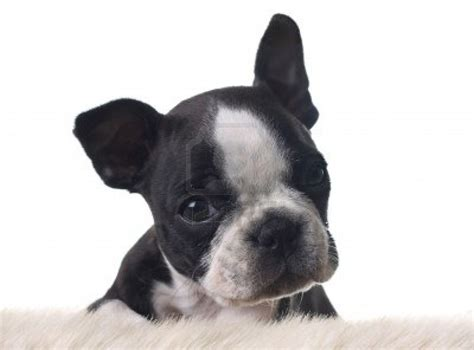 boston terrier puppies puppy dogs white boston terrier puppies